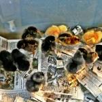 dayoldchickens