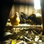 fiveweekoldchickens