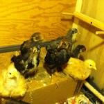 threeweekoldchickens