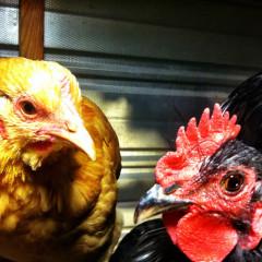 Boom Chicka Boom, Backyard Chickens